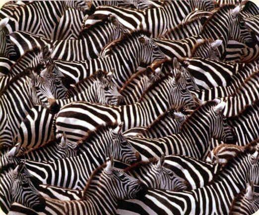 zebras.jpeg